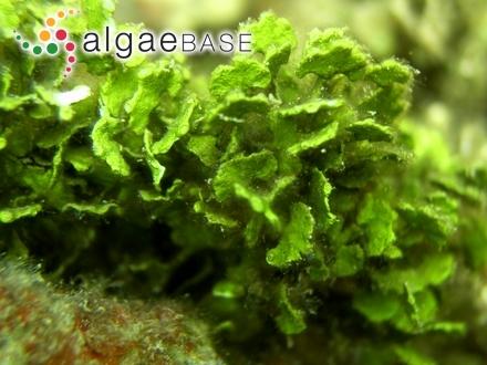 Ceramium diaphanum f. corticatulo-strictum Kylin