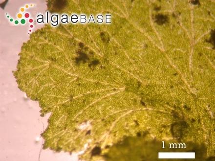 Ceramium rosenvingei f. intermedium Petersen