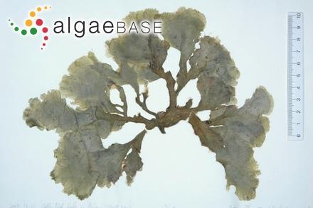 Ceramium furcatum (Petersen) Petersen