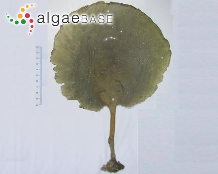 Ceramium rosenvingei f. transgrediens Petersen