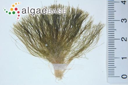 Chlorodesmis fastigiata (C.Agardh) S.C.Ducker
