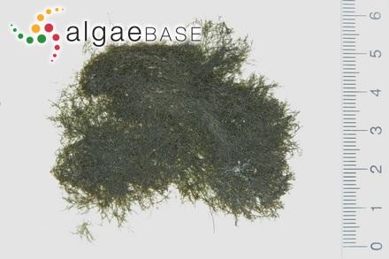 Plumaria plumosa var. tenuissima C.Agardh