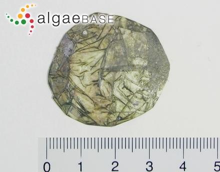 Delesseria sanguinea f. filiformis Levring