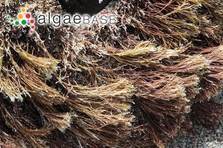 Vertebrata australis (C.Agardh) Kuntze