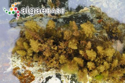 Carradoria virgata (C.Agardh) Kylin