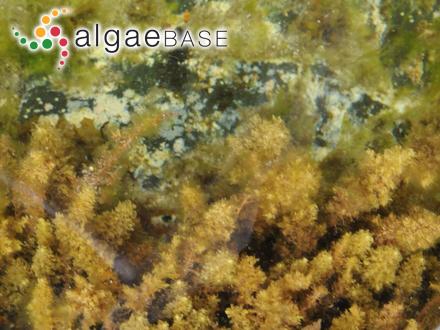 Rhodomela crassicaulis Harvey ex Svedelius