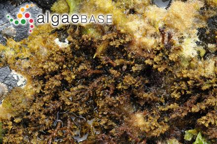 Cliftonaea lamourouxii (Harvey) Harvey