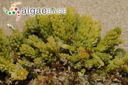 Rhodoglossum affine (Harvey) Kylin