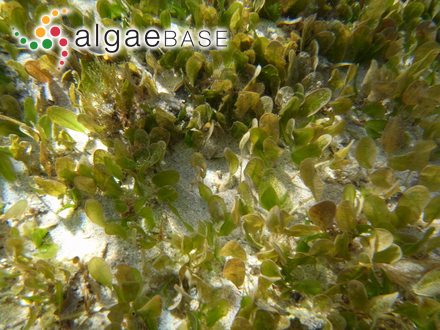 Gigartina asperifolia J.Agardh