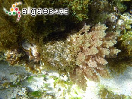Gigartina flabellata J.Agardh