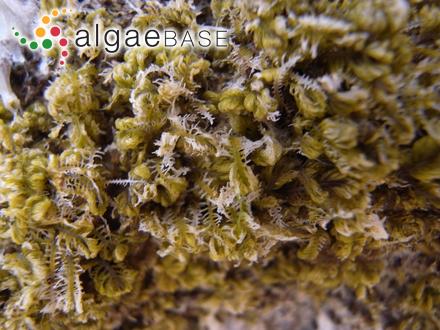 Rhododactylis rubra (Harvey) J.Agardh