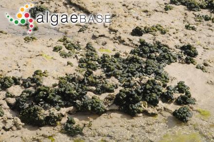 Corynecladia clavata (Sonder) J.Agardh