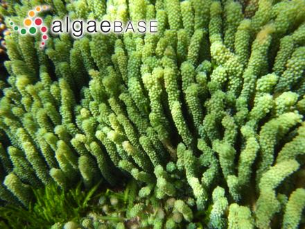 Giffordia breviarticulata (J.Agardh) Doty & I.A.Abbott