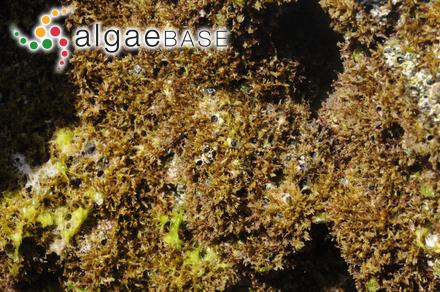Saundersella saxicola (Okamura & Yamada) Inagaki