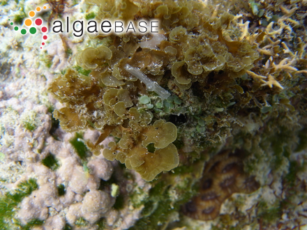 Neurocarpus zonarioides (Farlow) M.Howe