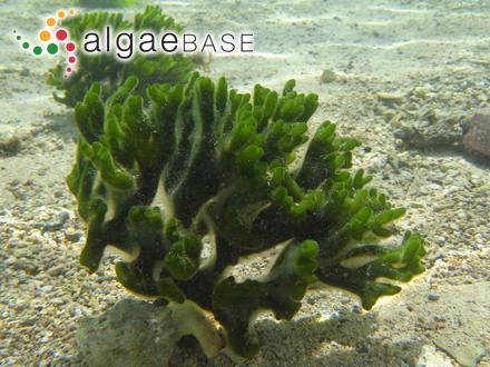 Cystophyllum sisymbroides (Turner) J.Agardh