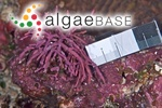 Corallina ephedraea Lamarck