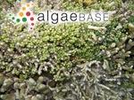 Caulerpa racemosa (Forsskål) J.Agardh