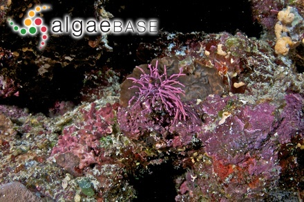 Spatoglossum crassum J.Tanaka