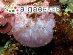 Peyssonnelia iridescens D.L.Ballantine & H. Ruiz