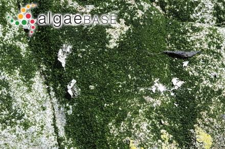 Lithophyllum fuegianum Heydrich