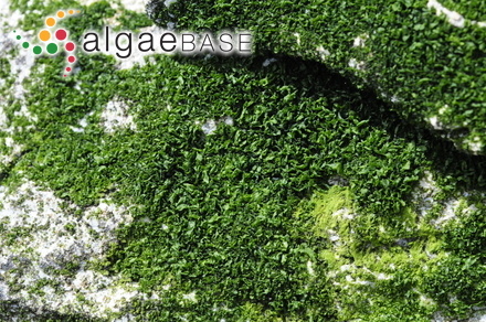 Callophyllis elongata Dickie