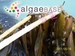 Laminaria japonica Areschoug