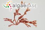 Chylocladia articulata (Hudson) Greville