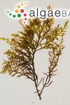 Fucus hybridus A.P.de Candolle