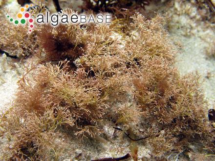 Rhodoglossum hemisphaericum Mikami
