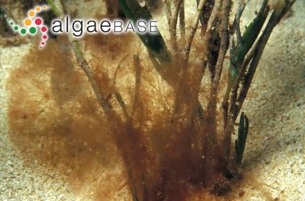Laurencia minuta subsp. scammaccae G.Furnari & Cormaci