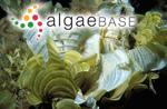 Padina elegans Koh ex Womersley