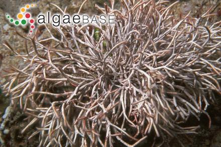 Lithophyllum canariense Foslie