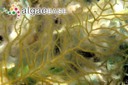 Corynospora furcellata (J.Agardh) Levring