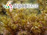 Sargassum polycystum C.Agardh