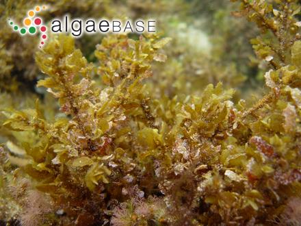 Petrocelis polygyna (Kjellman) F.Schmitz