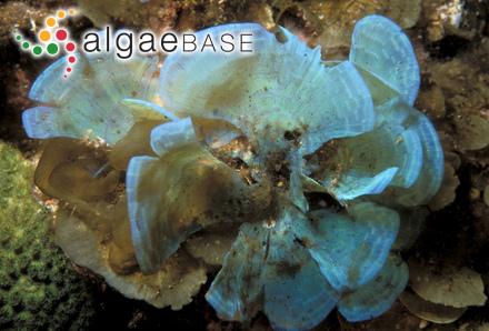 Ectocarpus desmarestiae H.Gran