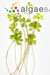Acetabularia peniculus (R.Brown ex Turner) Solms-Laubach