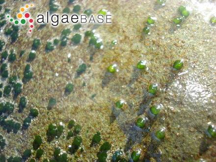 Rhabdonia tenera (J.Agardh) J.Agardh