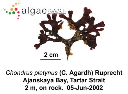 Chondrus platynus (C.Agardh) Ruprecht