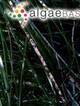 Lithophyllum zostericola f. mediocre Foslie