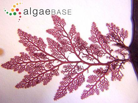Caloglossa leprieurii f. pygmaea (G.Martens) Post