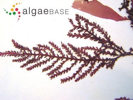 Caloglossa leprieurii f. ceylonensis Post