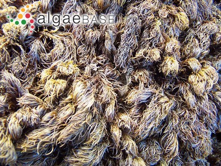 Zonaria flava C.Agardh