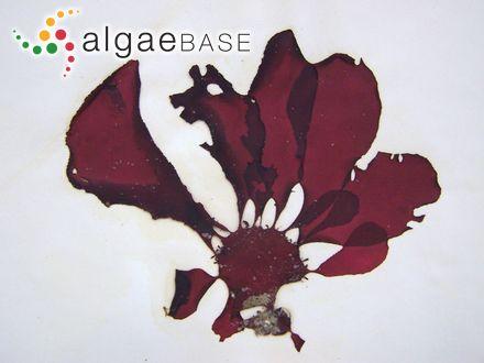 Elachista fasciculata (Reinke) H.Gran