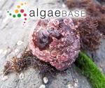 Peyssonnelia meridionalis Hollenberg & I.A.Abbott