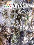 Porphyra lanceolata (Setchell & Hus) G.M.Smith