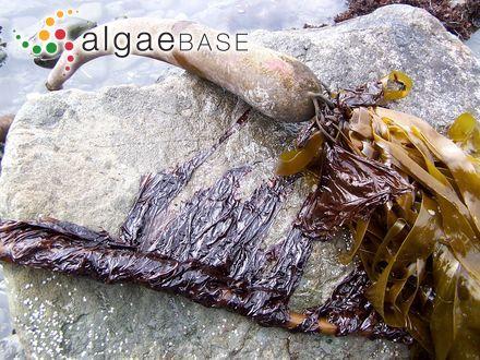Caulerpa crassifolia (C.Agardh) J.Agardh
