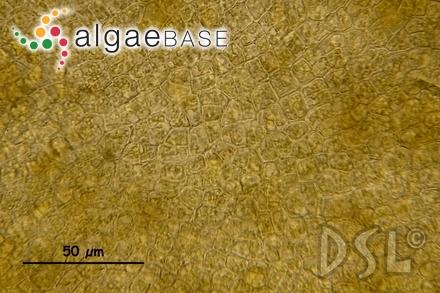 Chromastrum catenulatum (M.Howe) Stegenga & Mulder