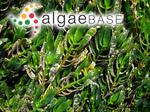 Amphibolis antarctica (Labillardière) Sonder & Ascherson ex Ascherson